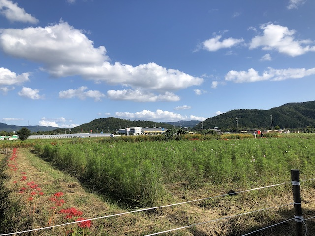 亀岡 コスモス畑