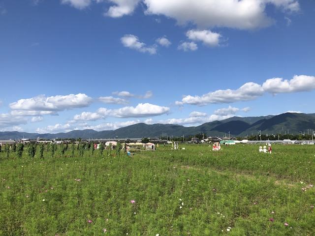 亀岡のコスモスの開花状況